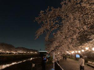 当店近くの黒目川 桜が見頃です